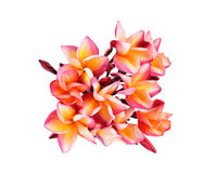 Fiore di plumeria su fondo bianco Immagini Stock