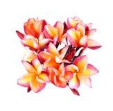 Fiore di plumeria su fondo bianco Fotografie Stock Libere da Diritti