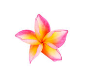 Fiore di plumeria su fondo bianco Fotografie Stock