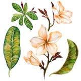 Fiore di plumeria su un ramoscello Fiori e foglie floreali tropicali dell'insieme Isolato su priorità bassa bianca Pittura dell'a Fotografia Stock