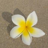 Fiore di plumeria sul fondo della sabbia Fotografia Stock