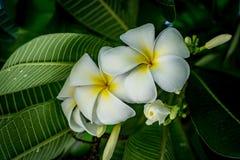 Fiore di plumeria sul fondo vago delle foglie Fotografie Stock