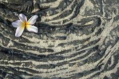 Fiore di Plumeria sulla roccia sabbiosa della lava Fotografie Stock Libere da Diritti