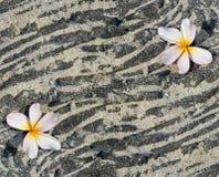 Fiore di Plumeria sulla roccia sabbiosa della lava Immagine Stock