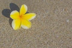 Fiore di plumeria sulla sabbia Fotografia Stock