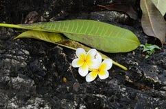 Fiore di plumeria sulle rocce Immagini Stock Libere da Diritti