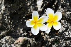 Fiore di plumeria sulle rocce Fotografia Stock
