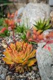 Fiore di polyphylla dell'aloe Fotografia Stock
