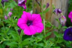 Fiore di porpora del primo piano fotografie stock libere da diritti