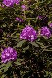 Fiore di porpora del rododendro fotografie stock libere da diritti