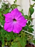 Fiore di porpora della petunia Immagini Stock Libere da Diritti