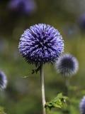 Fiore di porpora della sferoide Fotografie Stock Libere da Diritti