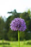 Fiore di porpora di giganteum dell'allium Fotografie Stock