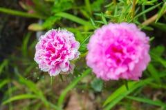Fiore di Portulaca Fotografia Stock Libera da Diritti