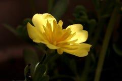 Fiore di Portulaca Fotografia Stock