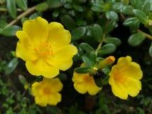 Fiore di Portulaga fotografia stock