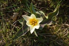 Fiore di primavera Fotografia Stock Libera da Diritti