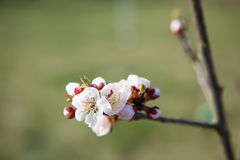 Fiore di primavera Fotografie Stock