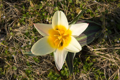 Fiore di primavera Immagine Stock