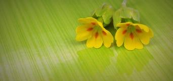 Fiore di primavera odorosa Fotografia Stock