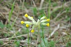 Fiore di primavera odorosa (in Europa) immagini stock