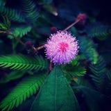 Fiore di principessa di vergogna Fotografia Stock