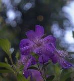 Fiore di Purpal Fotografia Stock