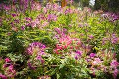 Fiore di ragno Fotografie Stock Libere da Diritti