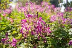 Fiore di ragno Immagine Stock Libera da Diritti