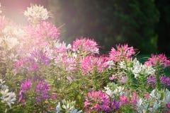 Fiore di ragno Fotografia Stock