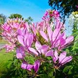 Fiore di ragno Immagini Stock