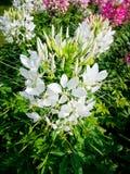 Fiore di ragno Fotografia Stock Libera da Diritti