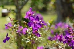 Fiore di ragno brasiliano nella foresta fotografia stock