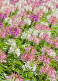 Fiore di ragno o hassleriana del Cleome Fotografie Stock