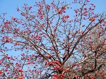 Fiore 2011 di Ramat Gan Wolfson Park Coral Tree Immagini Stock Libere da Diritti