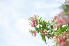 Fiore di Rangoon Immagine Stock