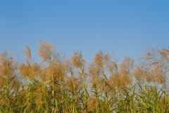 Fiore di Reed soffiato dal vento Fotografia Stock