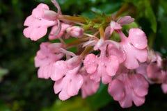 Fiore di rhodochela di Habenaria Fotografie Stock Libere da Diritti