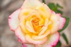 Fiore di Rosa Immagini Stock Libere da Diritti
