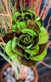 Fiore di Rosa Fotografie Stock