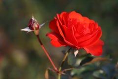 Fiore di Rosa all'aperto Fotografia Stock