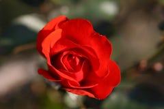 Fiore di Rosa all'aperto Fotografia Stock Libera da Diritti