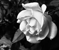Fiore di rosa in bianco e nero fotografie stock
