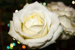 Fiore di rosa di bianco Il bianco è aumentato con dew fotografia stock