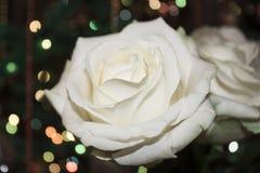 Fiore di rosa di bianco Il bianco è aumentato con dew Immagini Stock Libere da Diritti