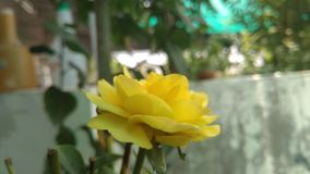 Fiore di rosa di colore giallo immagini stock libere da diritti