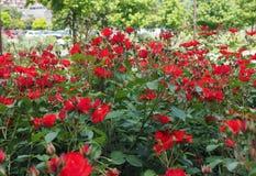 Fiore di rosa di colore rosso Fotografie Stock