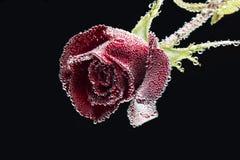 Fiore di Rosa coperto di bolle dell'acqua immagine stock