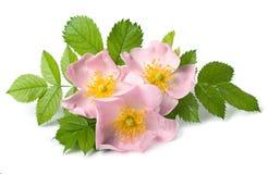 Fiore di rosa del cane Fotografie Stock Libere da Diritti
