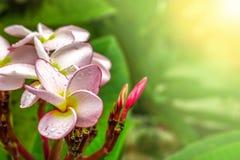 Fiore di rosa del fiore di Champa immagine stock